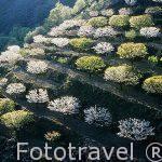 """Cerezos en flor """"Prunus avium"""". Valle del Jerte. Cáceres. Extre"""