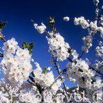 """Flores de cerezo """"Prunus avium"""".Valle del Jerte. Cáceres. Extre"""