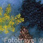 """La flor de pastel """"Isatis tinctoria"""", pistilos secos y trozos az"""