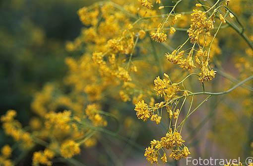 """Flor amarilla de la que se extrae el Blue pastel (azul pastel) """""""