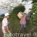 Jornaleros empezando jornada de recogida de cafe en la hacienda El Bosque del Saman. ALCALA. Eje cafetero. Colombia