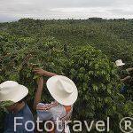 Jornaleros empezando jornada de recogida de cafe en la hacienda El Bosque del Saman. ALCALA