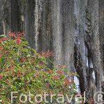 Arboles cargados de liquenes. Parque Natural El Gallineral. En SAN GIL. Departamento de Santander. Colombia. Suramerica