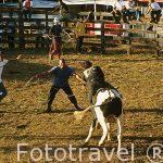 Rodeo con caballos en el pueblo de La Garita.GUANACASTE.Costa Rica.