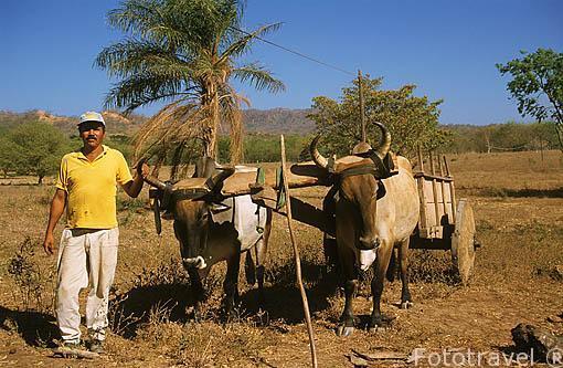Campesino trabajando con sus vacas en el campo. GUANACASTE. Costa Rica. Centroamerica.