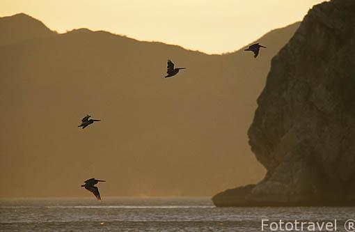 Pelicanos pardos sobrevolando las olas. Pelecanus occidentalis. Parque Nacional de Santa Rosa. GUANACASTE. Costa Rica. Centroamerica.