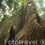 Ficus creciendo alrededor de su huesped. Parque Nacional Rincon de la Vieja. COSTA RICA. Centroamerica.