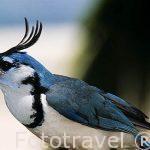 Urraca. Piapia Azul. Calocitta Formosa.White throated Magpie jay . Desde el C .de Mexico hasta COSTA RICA.