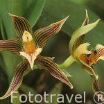 Orquidea Galeottia Grandiflora. COSTA RICA