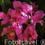 Orquidea Guaria morada. Cattleya skinneri. Orquidea Nacional de COSTA RICA.