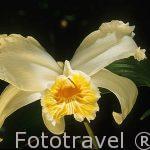 "Orquidea. flor de un dia. "" Sobralia sp."" COSTA RICA."