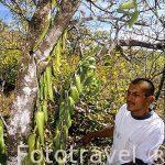 """Orquidea Vainilla """"Vainilla planifolia"""". COSTA RICA"""