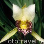"Orquidea ""Cochleanthes sp"". COSTA RICA."