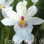 "Orquidea ""Mitoniopsis warczewiczii"". COSTA RICA"
