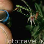 """Orquidea.Platystele caudatisepala"""". COSTA RICA"""