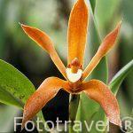 "Orquidea.""Maxillaria haberi"". COSTA RICA."
