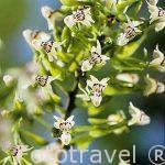 """Orquidea.""""Epidendrum piliferum"""". COSTA RICA."""