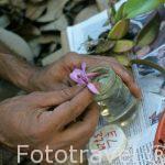 Guardando una flor de orquidea para posterior estudio. COSTA RICA.