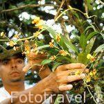 """Recolectando una especie de """"Oncidium sp,"""" por un botanico. COSTA RICA."""