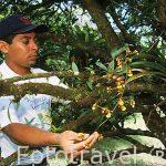 """Recolectando una especie de """"Oncidium sp,"""" por un botanico. COSTA RICA"""