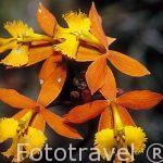 "Orquidea llamada Banderita Española. ""Epidendrum radicans"". COSTA RICA."