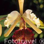 "Orquidea Guaria Turrialba ""Cattleya dowiana"". COSTA RICA."