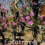 Jardin de orquideas La Cocaleca y especie Guaria morada. COSTA RICA.