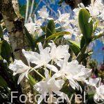 """Orquidea Guaria blanca """"Cattleya skinneri"""". COSTA RICA."""