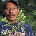"""Planta """"Sornia"""" para la cura de la diarrea. El Sr. Brigido Carrera, conocido por Juilo,conocedor de numerosas plantas medicinales, es de gran ayuda para la comunidad indigena Yorquin de habla Bri-Bri. Costa Caribe. Costa Rica"""