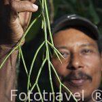 """Planta """"Solda con solda"""" para fracturas de huesos. El Sr. Brigido Carrera, conocido por Juilo,conocedor de numerosas plantas medicinales, es de gran ayuda para la comunidad indigena Yorquin de habla Bri-Bri. Costa Caribe. Costa Rica"""
