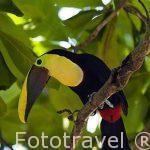 """Tucan de pico castaño, Chestnut-mandibled Toucan, or Swainson's Toucan. """"Ramphastos swainsonii"""" comiendo un saltamontes. Cerca de Puntarenas. Costa Rica. Centro America."""