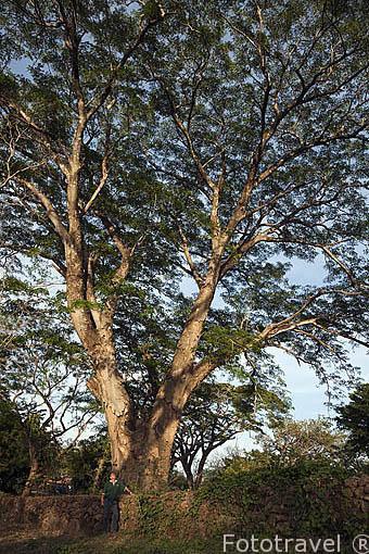 Arbol de guanaste junto a la hacienda Guachipelin. Guanacaste. Costa Rica. Centro america