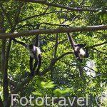 """Mono araña """"Ateles geoffroyi"""". Parque Nacional Rincon de la Vieja. Guanacaste. Costa Rica"""