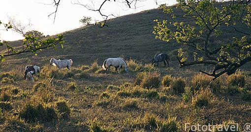 Caballos pastando cerca del Parque Nacional Rincon de la Vieja. Guanacaste. Costa Rica