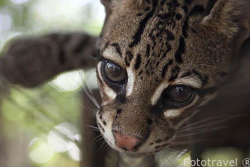 """Margay o tigrillo. """"Leopardus wiedi"""". Guanacaste. Costa Rica"""