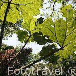"""Hojas de la llamada """"sombrilla de pobre"""". Gunera insignis. Monteverde. Costa Rica"""