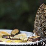 Mariposa caligo. Costa Rica
