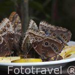 Mariposas morpho comiendo fruta madura. Costa Rica