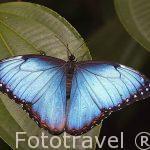Morpho peleides. Costa Rica
