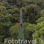 Uno de los puentes colgantes sobre el bosque nuboso primario. Empresa Sky Adventures. Cerca del Parque Nacional de Monteverde. Provincia de Puntarenas. Costa Rica