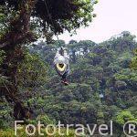 """Descenso en tirolina """"Sky Trek"""" sobre el bosque nuboso. Empresa Sky Adventures. Cerca del Parque Nacional de Monteverde. Provincia de Puntarenas. Costa Rica"""