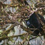 """Mono congo """"Alouatta palliata"""". Parque Nacional Monteverde. Costa Rica"""