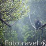 """Mono congo """"Alouatta palliata"""" paseando por un puente colgante. Parque Nacional Monteverde. Costa Rica"""
