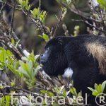 "Adulto macho. Mono congo ""Alouatta palliata"". Parque Nacional Monteverde. Costa Rica"