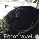 "Mono congo ""Alouatta palliata"". Parque Nacional Monteverde. Provincia de Puntarenas. Costa Rica"