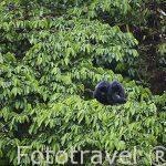 "Monos congo descansando. ""Alouatta palliata"". Parque Nacional Monteverde. Provincia de Puntarenas. Costa Rica"