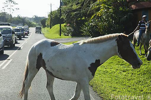 Caballos en la carretera. Cerca de La Fortuna. Costa Rica