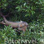 Iguana verde descansando en un arbol. Muelle de San Carlos. Alajuela. Costa Rica