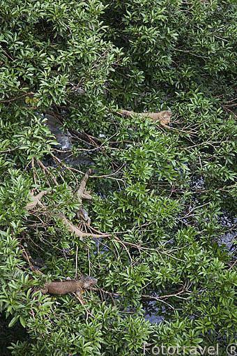 Iguanas verdes junto al rio. Muelle de San Carlos. Alajuela. Costa Rica