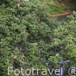 Iguanas verdes descansando sobre un arbol. Muelle de San Carlos. Alajuela. Costa Rica
